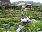 畑に咲いたクレマチス.JPG