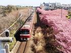 河津桜と京急電車P2172412.JPG