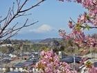 河津桜と富士P2172424.JPG