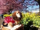 河津桜を観る犬P2172358.JPG